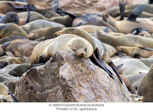 eared seals