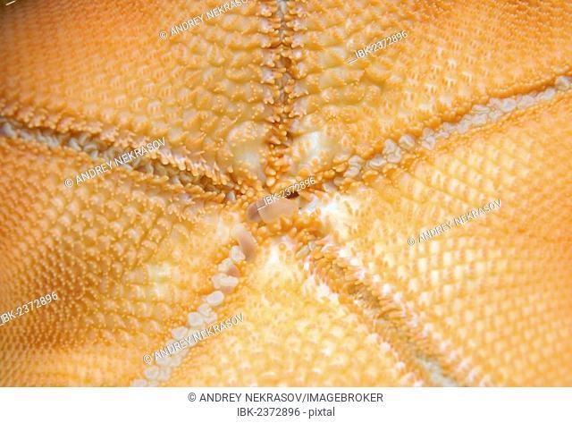 Starfish (Asterina pectinifera, Patiria pectinifera), Japan Sea, Far East, Primorsky Krai, Russian Federation