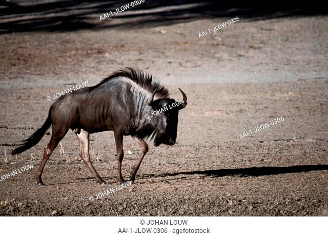 Wildebeest, Kgalagadi Transfrontier Park, Northern Cape, South Africa