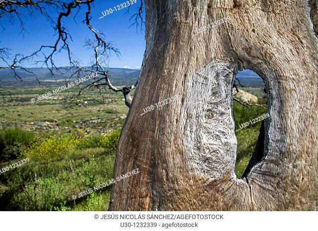 Detail of a holm oak burned by a forest fire in 2004  Cerro del Berrueco, archaeological site in Salamanca province, next to a small town called El Tejado