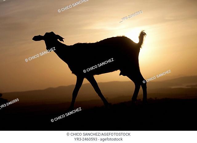 A goat walks at sunset in Prado del Rey, Sierra de Cadiz, Andalusia, Spain