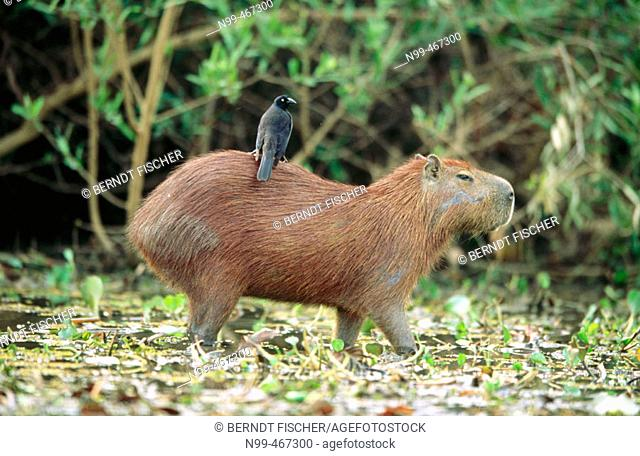 Capybara (Hydrochaeris hydrochaeris). River bank, Riverine Forest. Pixaim river.  Pantanal near Poconé. Mato Grosso. Brazil