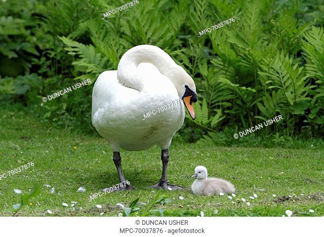 Mute Swan (Cygnus olor) with cygnet, Lower Saxony, Germany