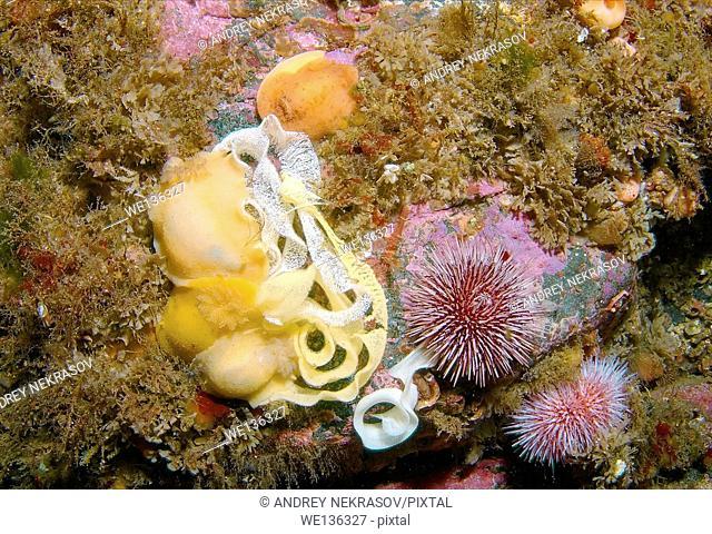 Nudibranch or Sea Slug with eggs ( Archidoris pseudoargus ) with eggs, Sea of Japan, Rudnaya Pristan, Far East, Primorsky Krai, Russia