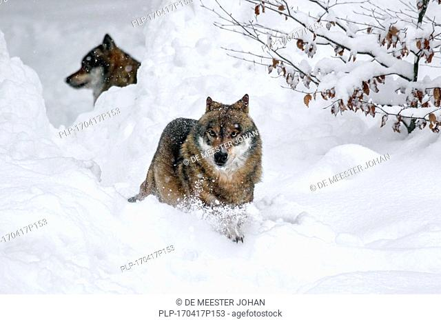 Two gray wolves / grey wolf (Canis lupus) hunting in deep snow in winter