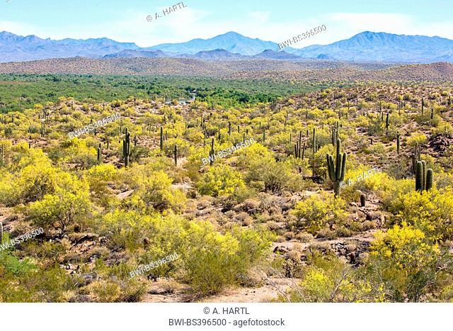 Parkinsonia florida (Parkinsonia florida), blooming shrubs and small trees in the Sonoran Desert, USA, Arizona, Sonoran, Phoenix