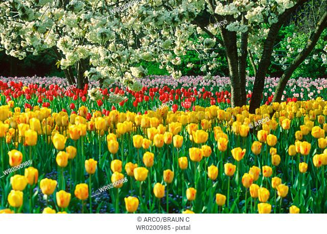 Bed, of, Tulips, Baden-Wurttemberg, Germany