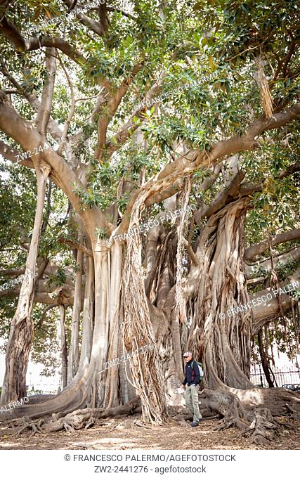 Biggest tree of ficus with its amazing roots. Palermo, Sicily. Italy