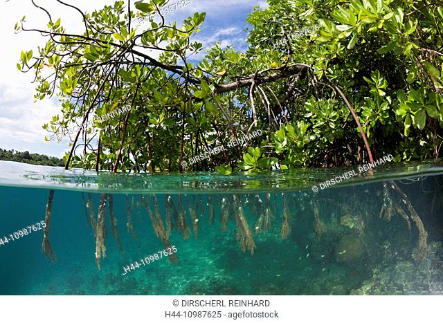 Stilt Roots of Mangrove Tree, Rhizophora sp., Russell Islands, Solomon Islands