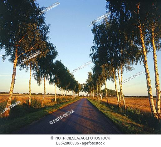 Poland. Podlasie region. Road with birches