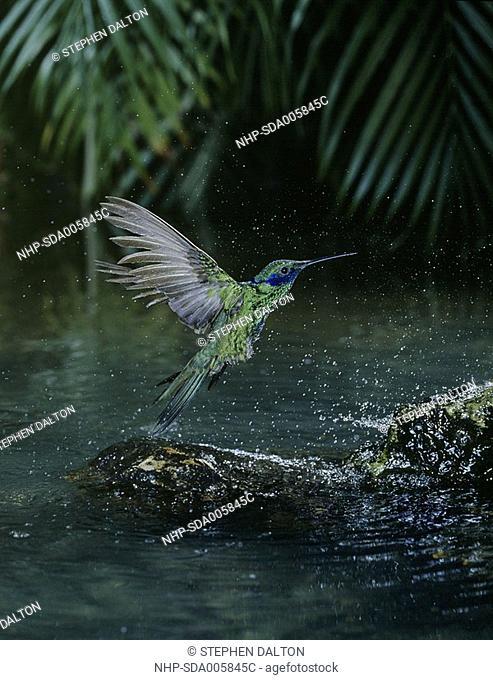 VIOLET-EARED HUMMINGBIRD Colibri thalassinus bathing