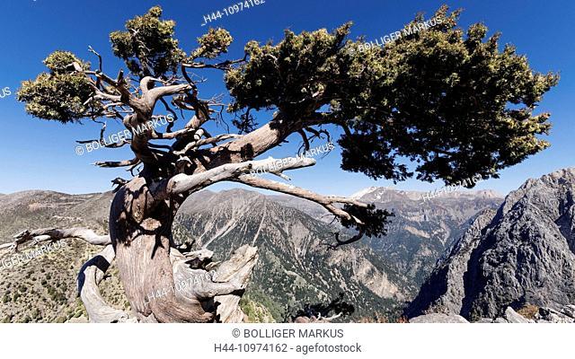 Old tree, old wood, tree, mountain, landscape, Cupressus sempervirens, Greece, Europe, island, isle, conifer, Crete, scenery, landscape, Levka Ori