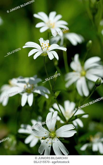 Greater Stitchwort (Stellaria holostea), flowering stalk. Germany