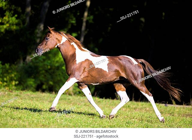 National Show Horse. Skewbald mare trotting on a pasture. Germany