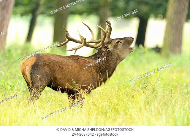 Red deer (Cervus elaphus) male roaring at the edge of the woods