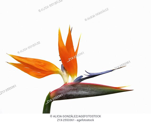 Bird of paradise flower (Strelitzia reginae) on white background