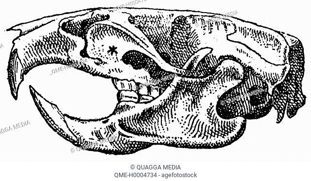 Rat: skull