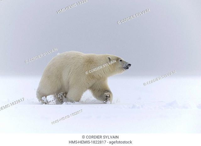 United States, Alaska, Arctic National Wildlife Refuge, Kaktovik, Polar Bear (Ursus maritimus), 2 and 10 months years old cub along a barrier island outside...