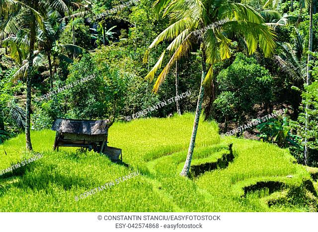 View over terrace rice fields and coconut trees in Asia