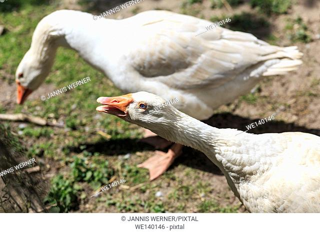 Two white geese on a farm in Germany