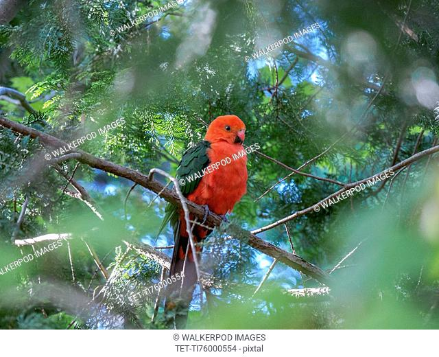 King parrot in tree