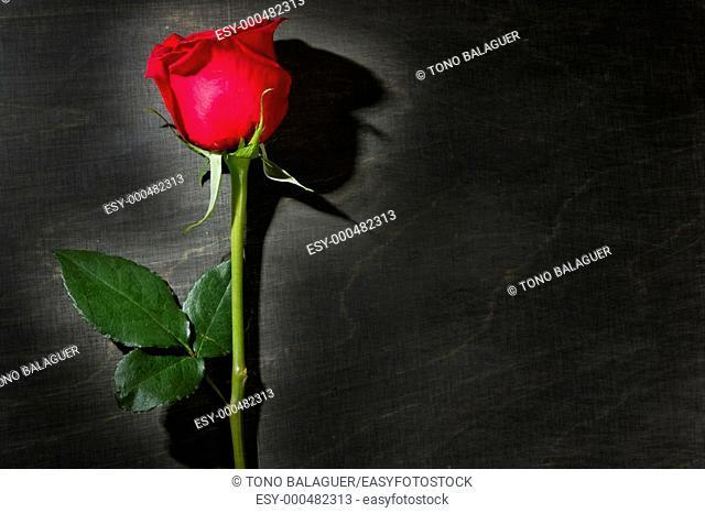 Red rose macro close up over dark black wood background