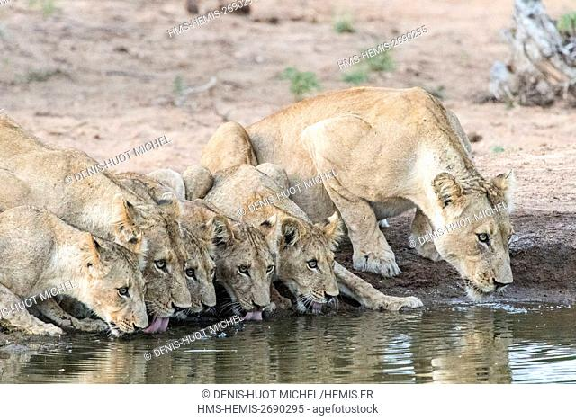 South Africa, Motswari private game reserve, lion (Panthera leo), females and cubs drinking