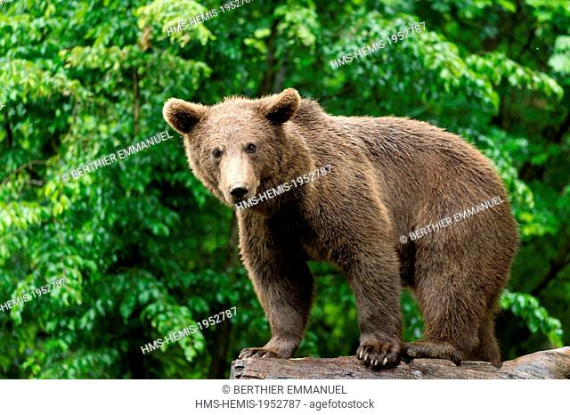 France, Hautes-Pyrenees, Argeles-Gazost, brown bear (Ursus arctos) in Pyrenees animal Park