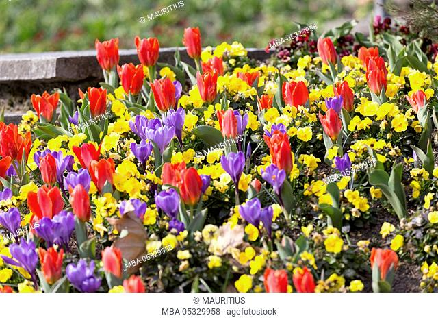 Flowerbed with tulips and crocuses