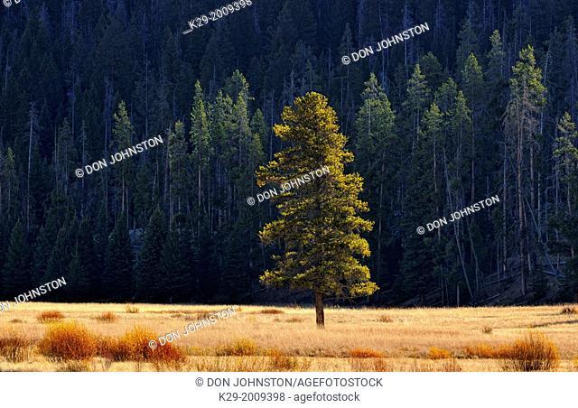 Pine trees and meadows near Soda Butte Creek, Yellowstone NP, Wyoming, USA