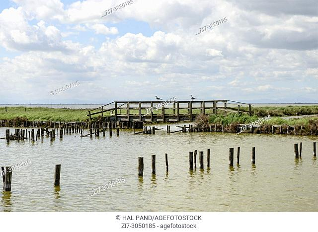 "seagulls stand on wooden bridge near wood posts forming a traditional fish trap called """"lavoriero"""" in the lagoon, shot in bright spring sun light at Comacchio"