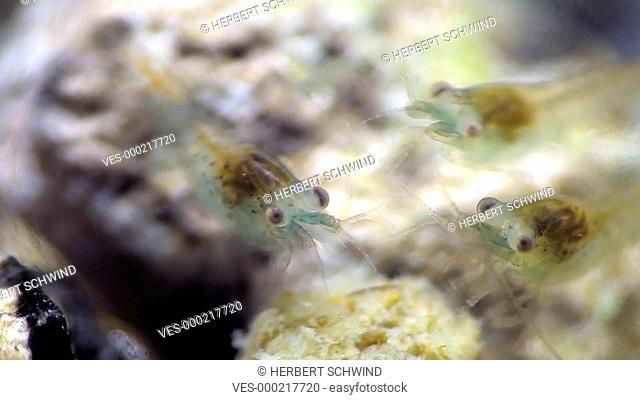 Zwergarnelen (Blue Pearl), beim Fressen im Aquarium