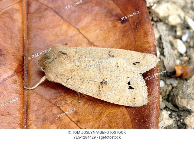 Twin spotted quaker moth Orthosia munda on leaf, England , UK