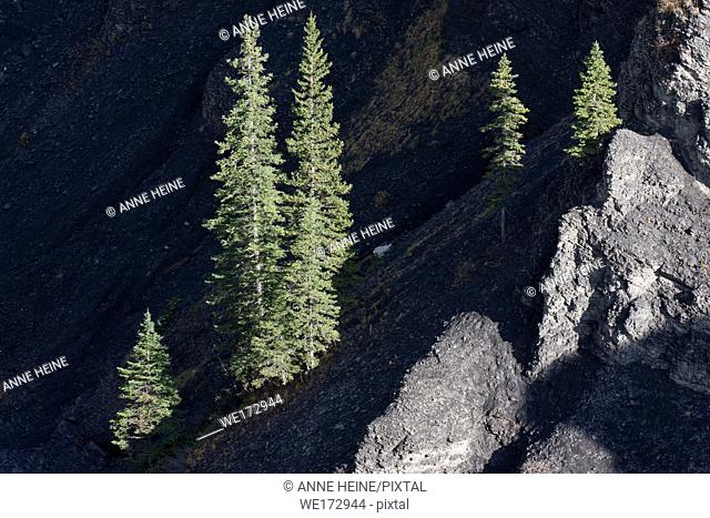 Spruce trees illuminated in the otherwise dark Canyon of Sheep River. Sheep Valley National Park, Alberta, Canada