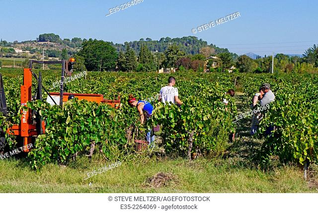 A family harvest grapes from a small vineyard
