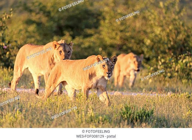 Namibia, Etosha National Park, group of lions