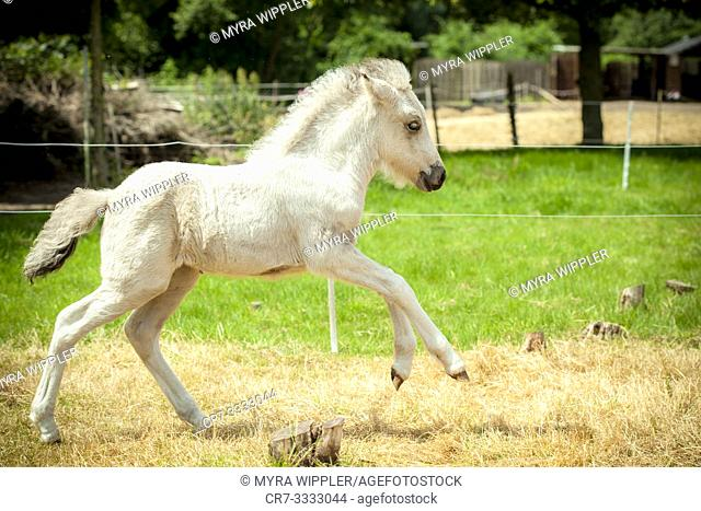 White foal running through meadow in gallop