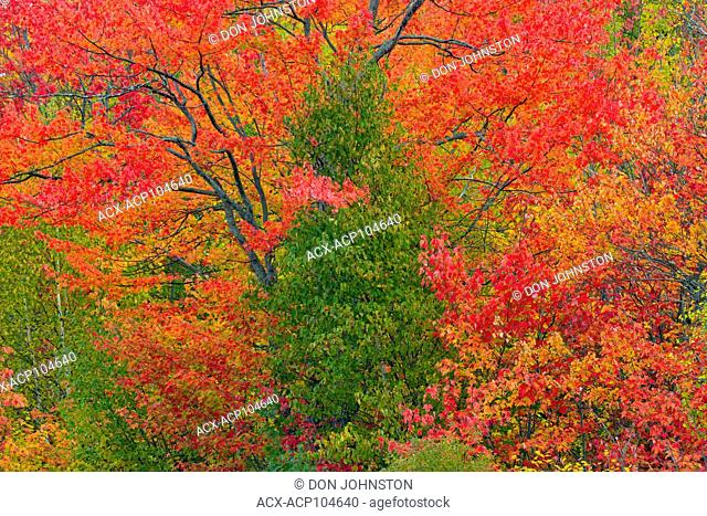 Autumn maple trees and cedar tree, Greater Sudbury, Ontario, Canada