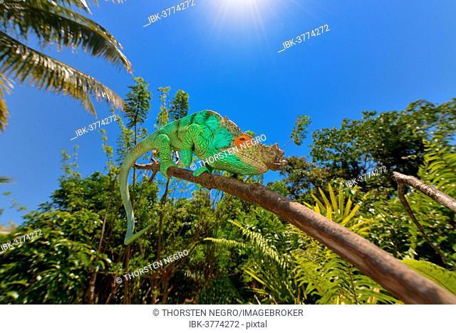 Parson's Chameleon (Calumma parsonii), Tampolo Forest Reserve, Madagascar