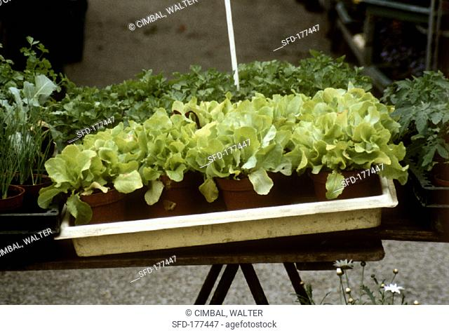 Pots of lettuce plants on a stall (outdoors)