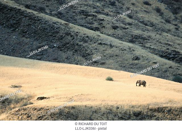Lone desert African Elephant Loxodonta africana on a grassy plain along the, Hoarusib river, Skeleton Coast National Park, Namibia