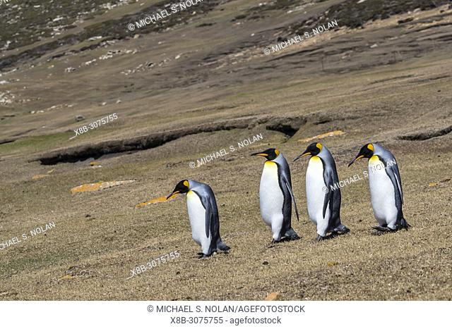 Adult King penguins, Aptenodytes patagonicus, on the grassy slopes of Saunders Island, Falklands