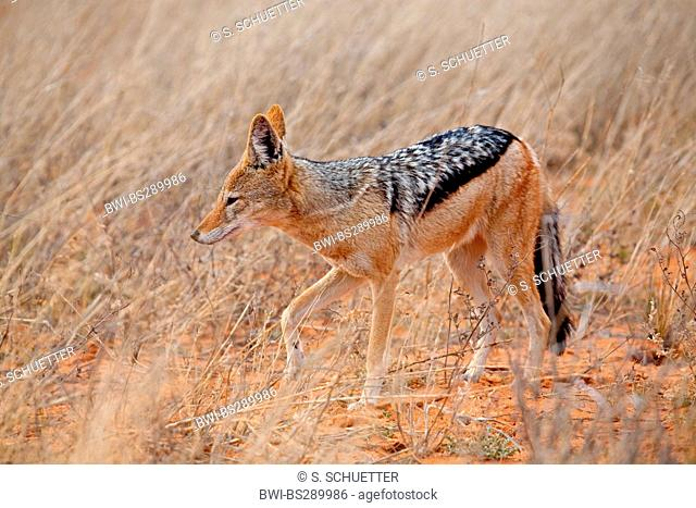 black-backed jackal (Canis mesomelas), in savannah, South Africa, Northern Cape, Kgalagadi Transfrontier National Park