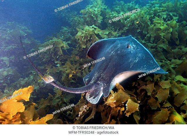 Short-tail Stingray over Kelp, Dasyatis brevicaudata, Poor Knights Islands, New Zealand