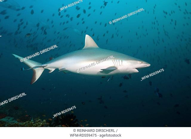 Grey Reef Shark, Carcharhinus amblyrhynchos, Hafsaa Thila, North Ari Atoll, Maldives