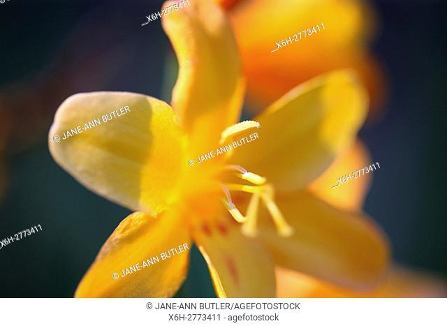 striking yellow montbretia, close up ethereal