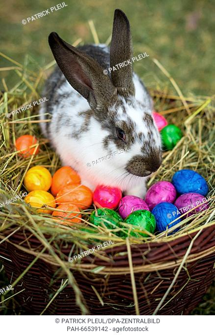 ILLUSTRATION: A rabbit in a wicker basket full of colored eggs in Sieversdorf (Brandenburg), Germany, 05 March 2016. Photo: Patrick Pleul/dpa - | usage...