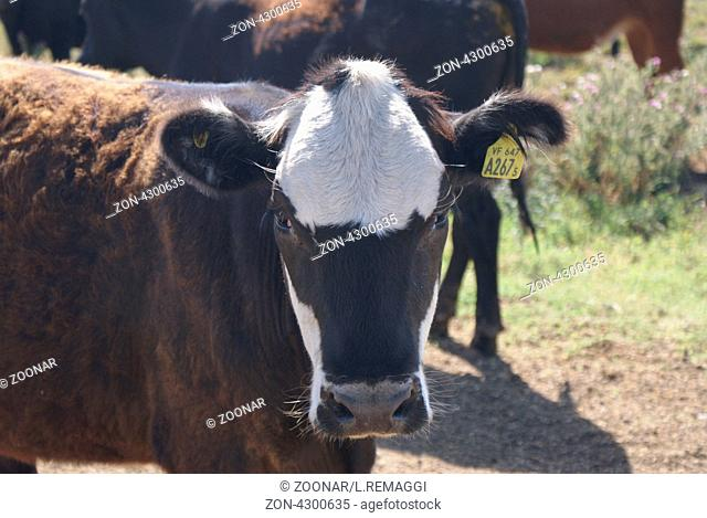 Hi Mad Cow