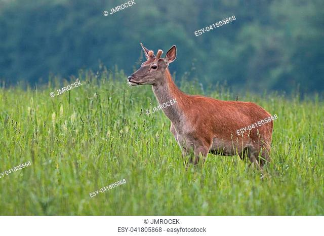 Young Red Deer, Cervus elaphus, stag growing velvet antlers in summer. Wild animal in grass land with green blurred background