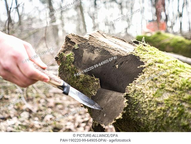 20 February 2019, Hessen, Lich: A student in a practical course shows in a forest the effects of the soot bark disease with the rising spores on the bark of one...